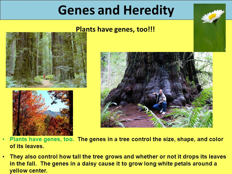 Genes and Heredity Plants have genes, too!!! Plants have genes, too. The genes in a tree control the size, shape, and color of its leaves. They also c