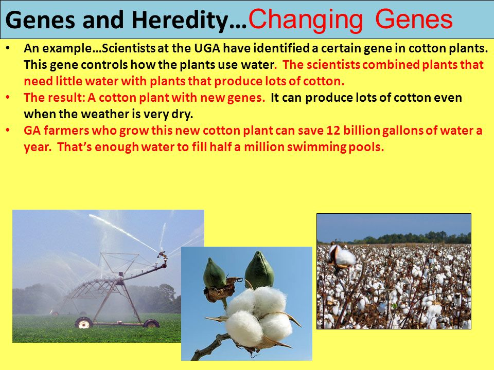Genes and Heredity… Changing Genes An example…Scientists at the UGA have identified a certain gene in cotton plants. This gene controls how the plants