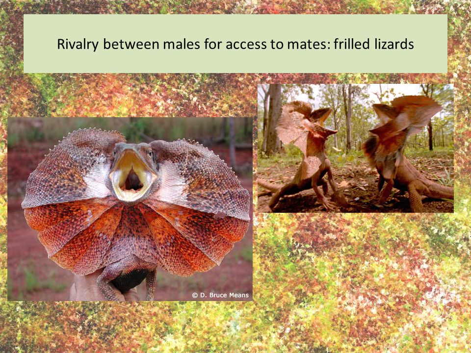 Rivalry between males for access to mates: frilled lizards