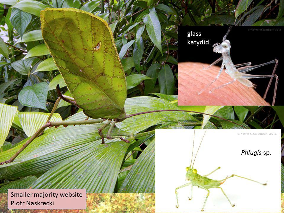 Smaller majority website Piotr Naskrecki glass katydid Phlugis sp.