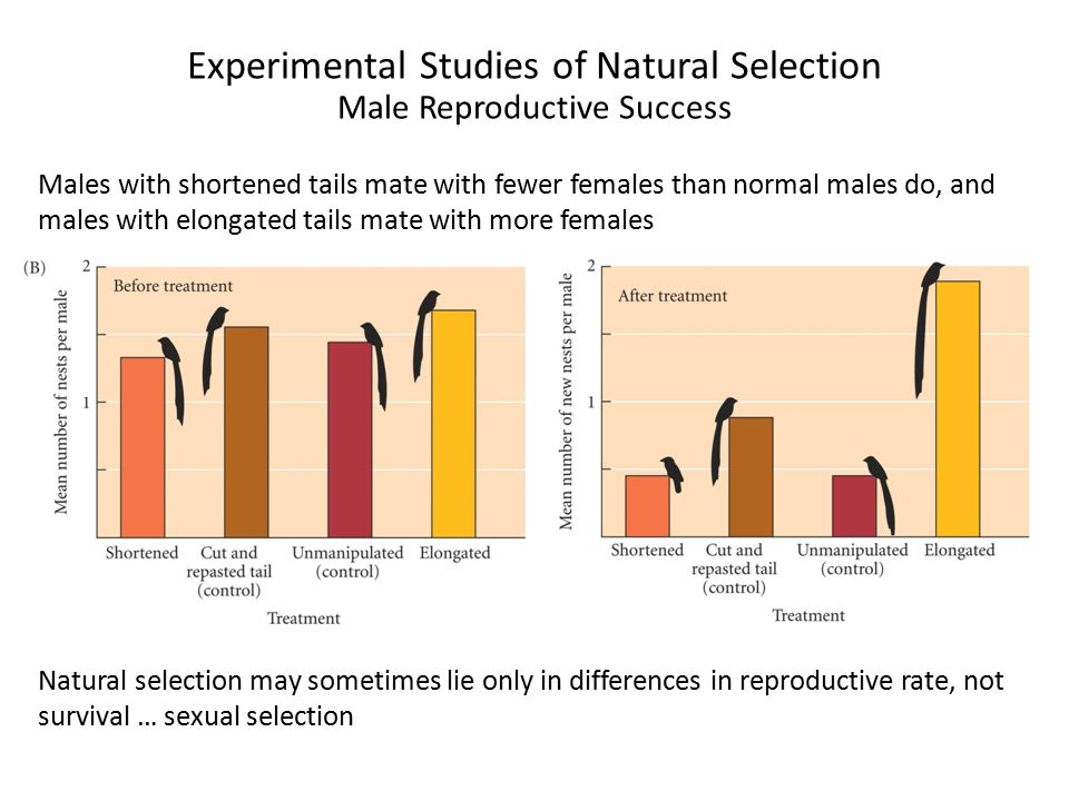 Experimental Studies of Natural Selection Male Reproductive Success Males with shortened tails mate with fewer females than normal males do, and males with elongated tails mate with more females Natural selection may sometimes lie only in differences in reproductive rate, not survival … sexual selection
