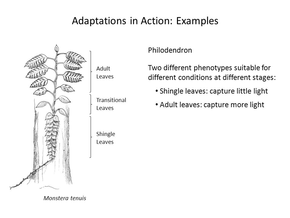 The Nature of Adaptation Recognizing Adaptations 3.Experiments May show that a feature increases fitness relative to individuals in which the feature is modified or absent 4.Comparative method Consists of comparing sets of species to pose or test hypotheses on adaptation and other evolutionary phenomena.