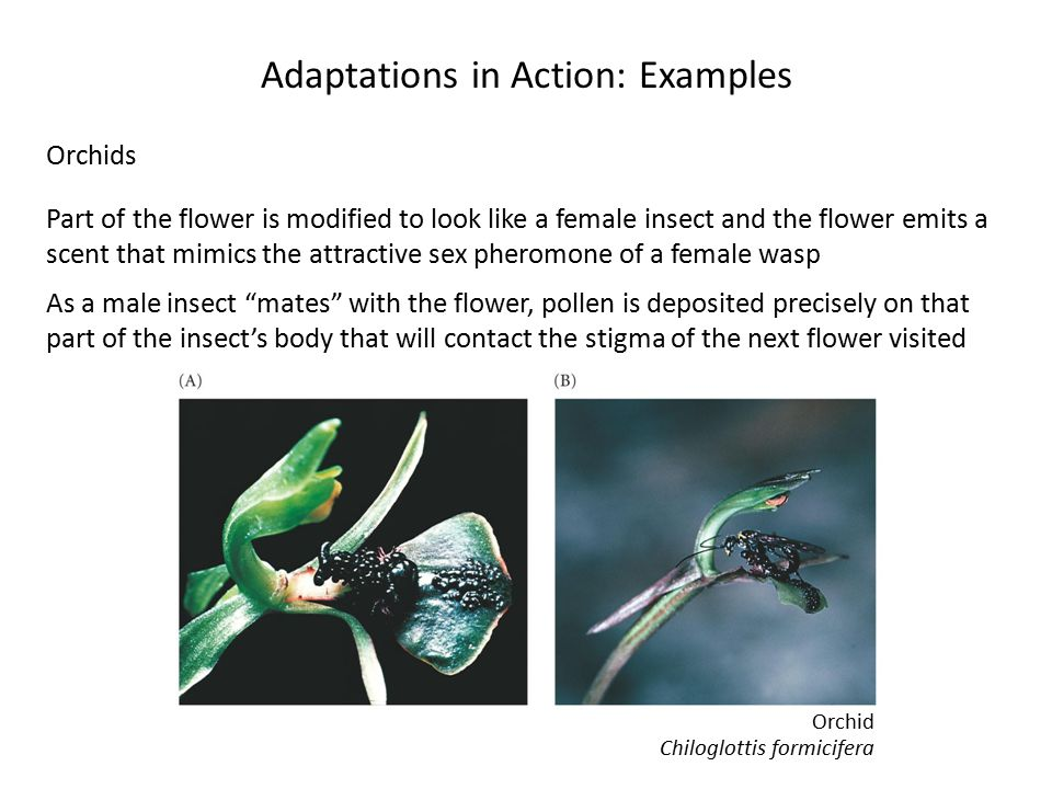 Adaptations in Action: Examples Orchids Part of the flower is modified to look like a female insect and the flower emits a scent that mimics the attractive sex pheromone of a female wasp As a male insect mates with the flower, pollen is deposited precisely on that part of the insect's body that will contact the stigma of the next flower visited Chiloglottis formicifera Orchid