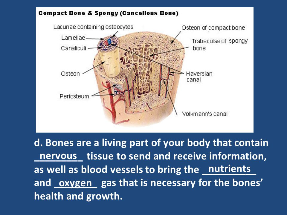 e.Bone is composed of two types of tissue: – Spongy: soft, interior layer of bone tissue.