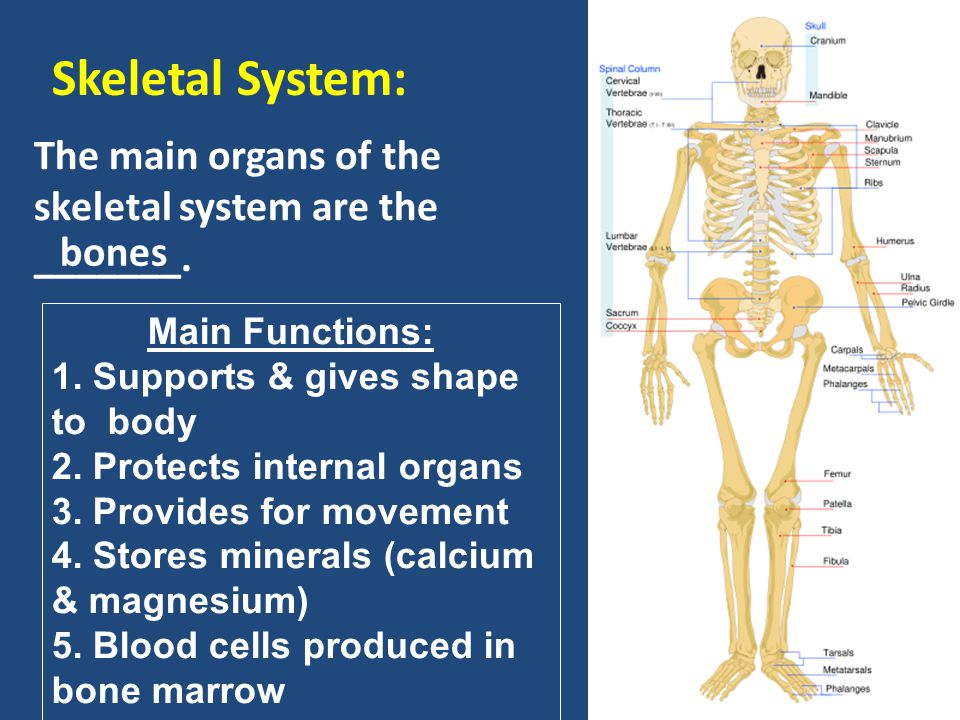Evolutionary Trends of the Skeletal and Muscular Systems Simple Complex