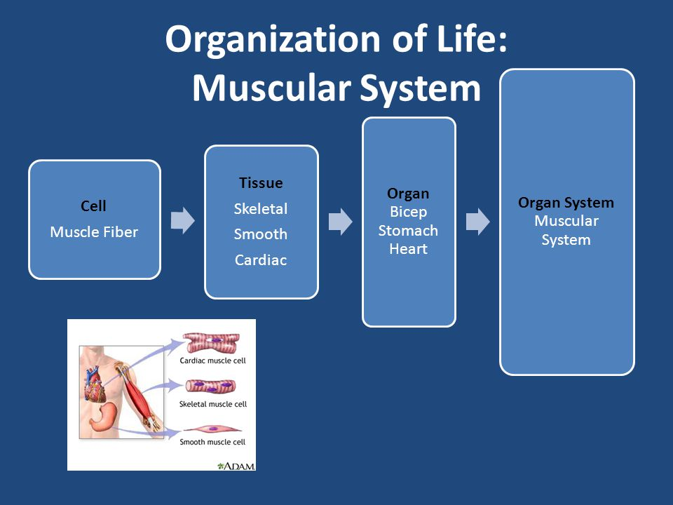 Muscular Body System Interactions: Digestive System: smooth muscle found in the stomach and intestinal tract helps move digested food through the body.