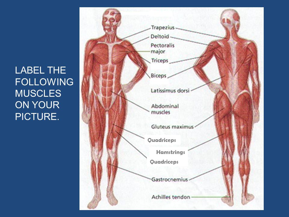 LABEL THE FOLLOWING MUSCLES ON YOUR PICTURE. Hamstrings Quadriceps