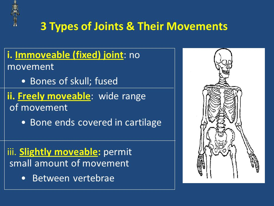 Types of Freely Moveable Joints 1.Ball-and-Socket Joint: Permit movement in many directions; widest range of movement of any joint (examples: shoulder and hip) 2.Hinge Joint: Permit back and forth motion (examples: elbow and knee)
