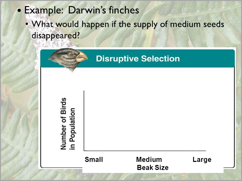 Example: Darwin's finches What would happen if the supply of medium seeds disappeared? Small Medium Large Beak Size