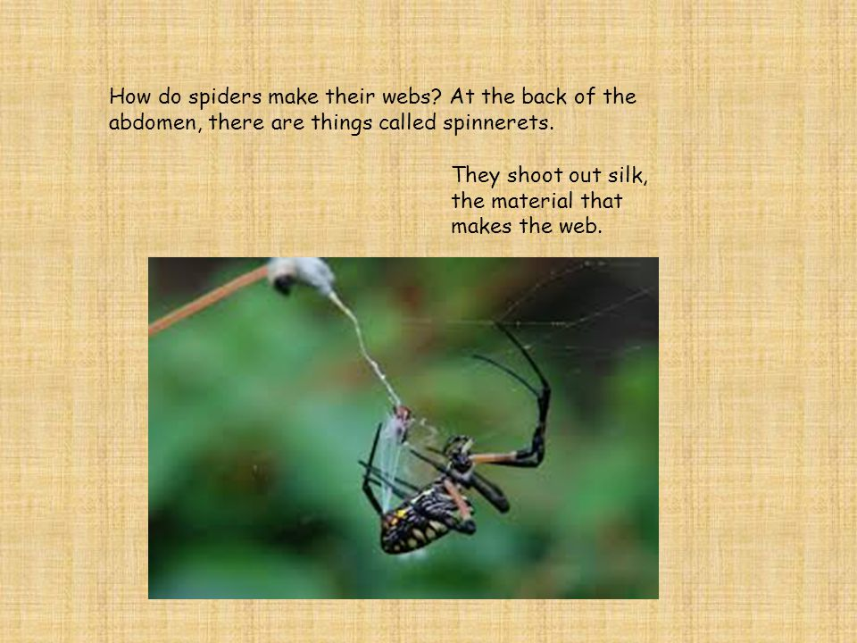 There are 2 main body parts on the spider.