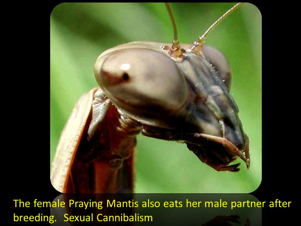 The female Praying Mantis also eats her male partner after breeding. Sexual Cannibalism