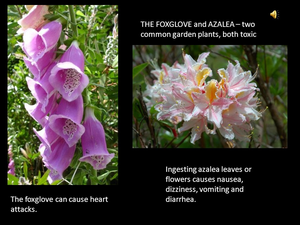 THE FOXGLOVE and AZALEA – two common garden plants, both toxic Ingesting azalea leaves or flowers causes nausea, dizziness, vomiting and diarrhea. The