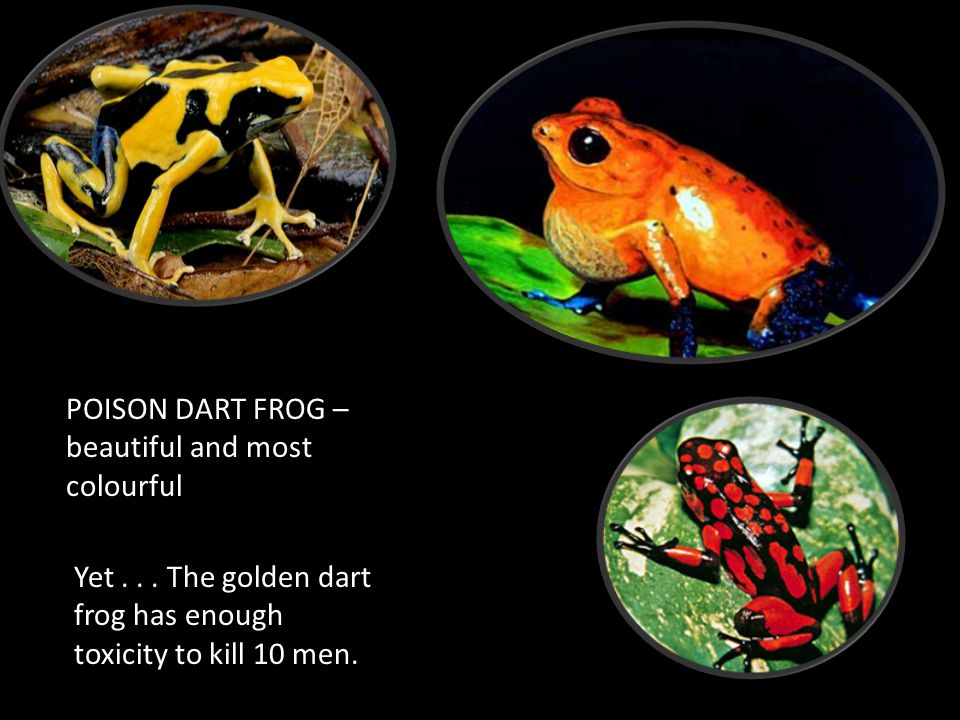 POISON DART FROG – beautiful and most colourful Yet... The golden dart frog has enough toxicity to kill 10 men.