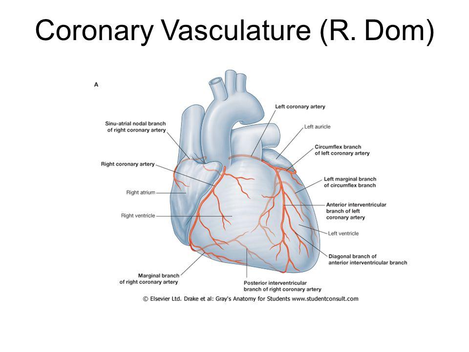 Coronary Vasculature (R. Dom)