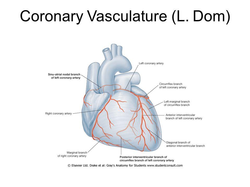 Coronary Vasculature (L. Dom)