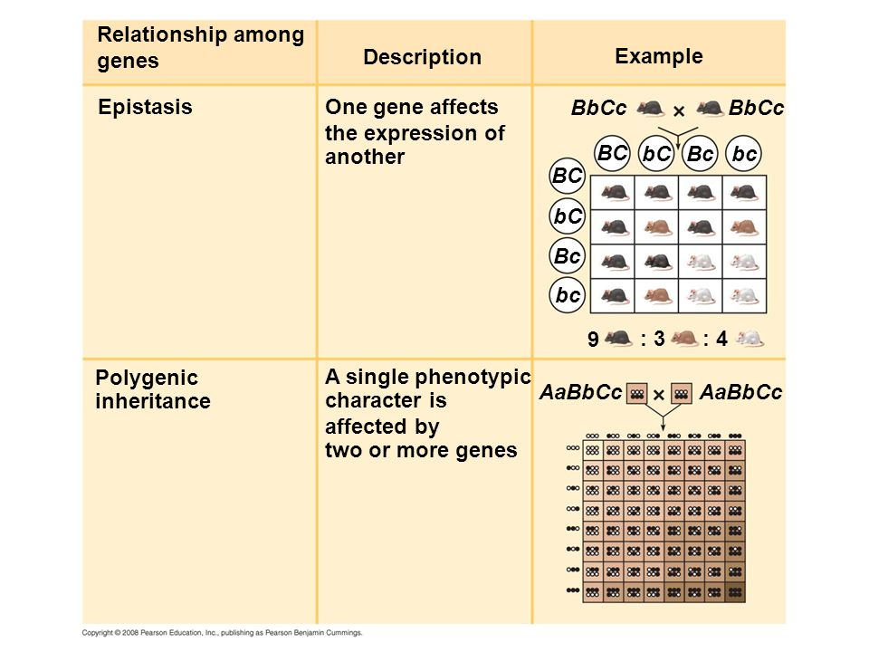 Description Relationship among genes EpistasisOne gene affects the expression of another Example Polygenic inheritance A single phenotypic character is affected by two or more genes BbCc BC bC Bc bc 9 : 3: 4 AaBbCc