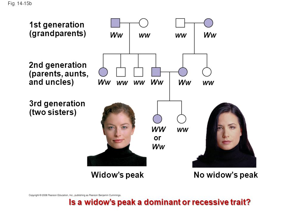 Fig. 14-15b 1st generation (grandparents) 2nd generation (parents, aunts, and uncles) 3rd generation (two sisters) Widow's peakNo widow's peak Is a wi