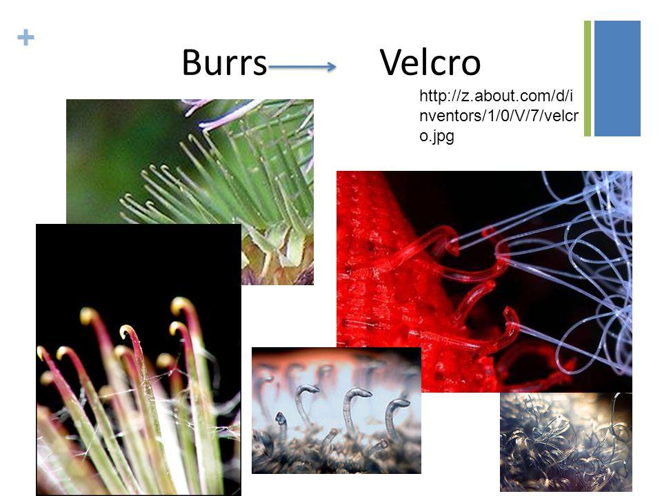 + http://z.about.com/d/i nventors/1/0/V/7/velcr o.jpg Burrs Velcro