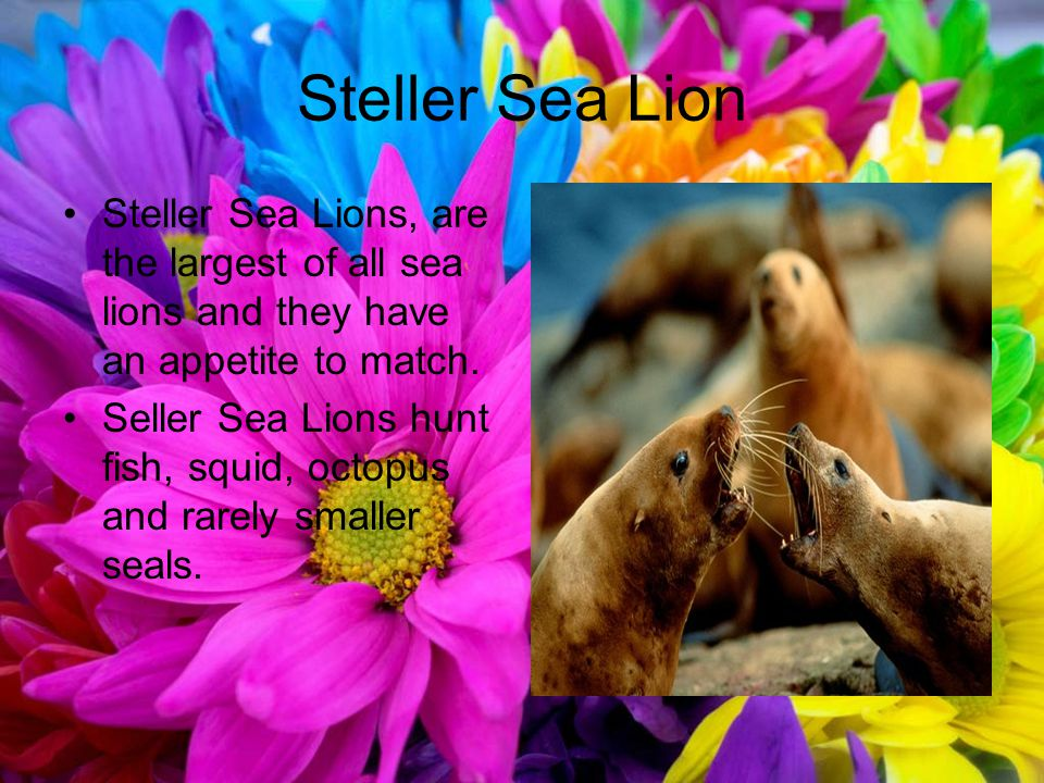 Steller Sea Lion Steller Sea Lions, are the largest of all sea lions and they have an appetite to match.