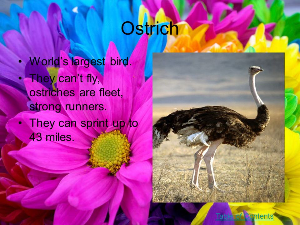 Ostrich World's largest bird. They can't fly, ostriches are fleet, strong runners.