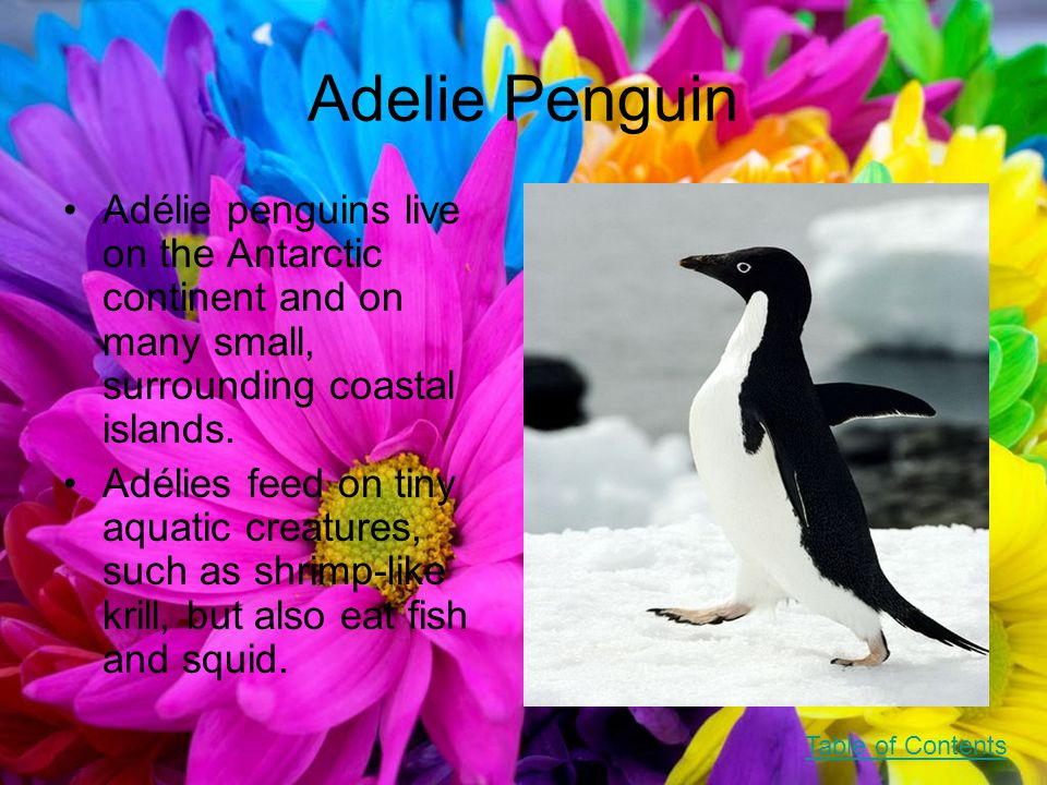 Adelie Penguin Adélie penguins live on the Antarctic continent and on many small, surrounding coastal islands.