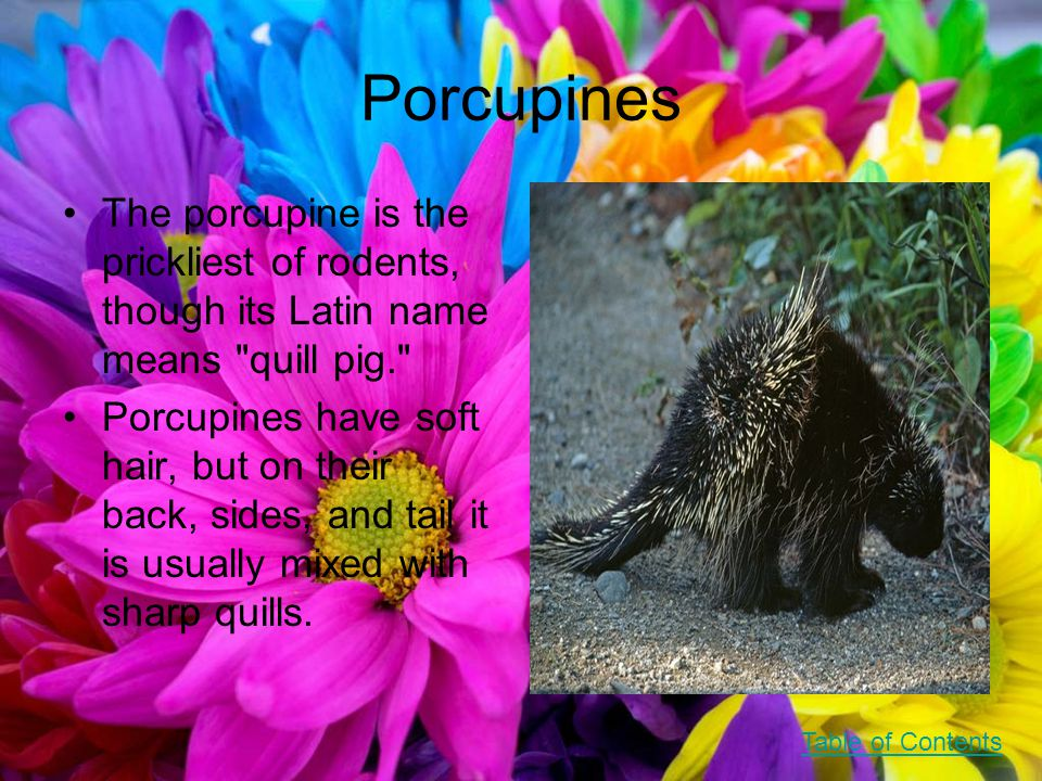 Porcupines The porcupine is the prickliest of rodents, though its Latin name means quill pig. Porcupines have soft hair, but on their back, sides, and tail it is usually mixed with sharp quills.