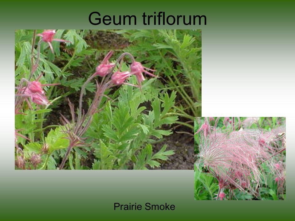 Geum triflorum Prairie Smoke
