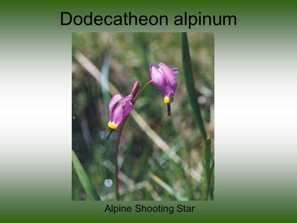 Dodecatheon alpinum Alpine Shooting Star