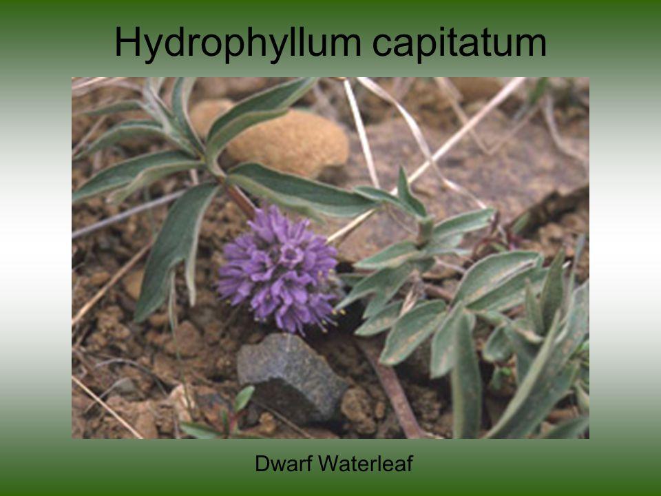 Hydrophyllum capitatum Dwarf Waterleaf