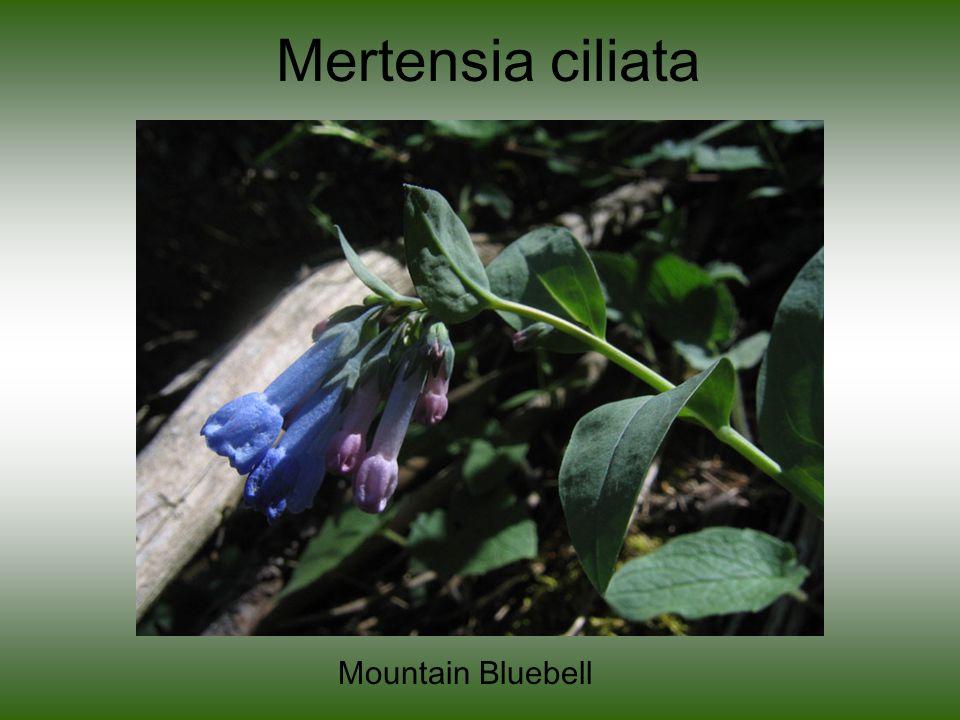Mertensia ciliata Mountain Bluebell