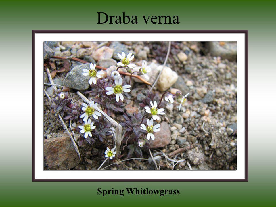 Draba verna Spring Whitlowgrass