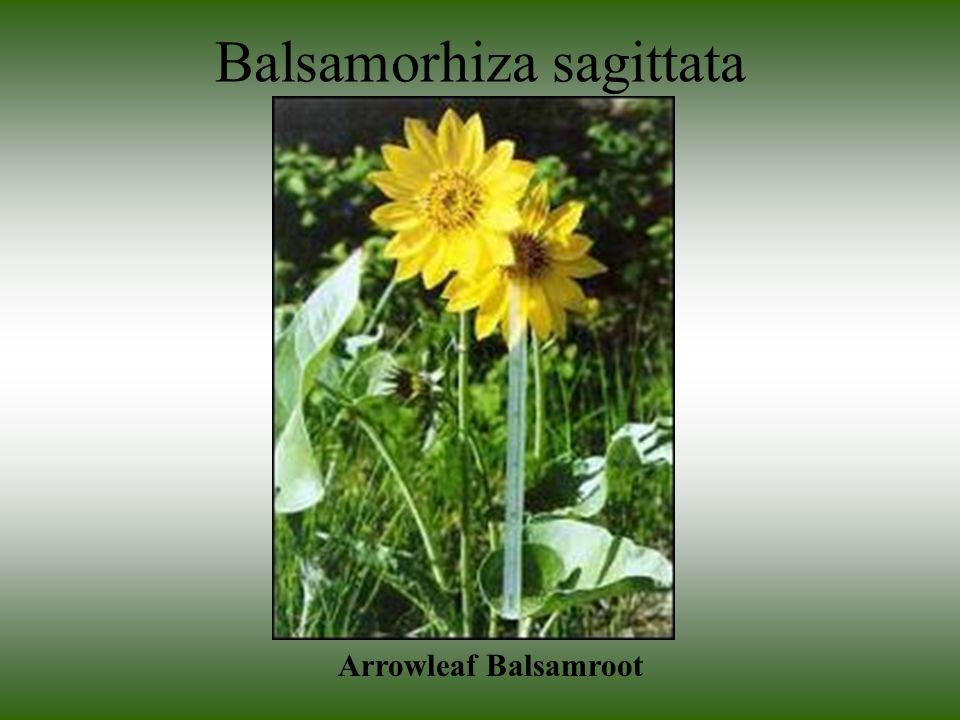 Balsamorhiza sagittata Arrowleaf Balsamroot