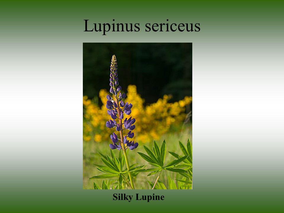 Lupinus sericeus Silky Lupine