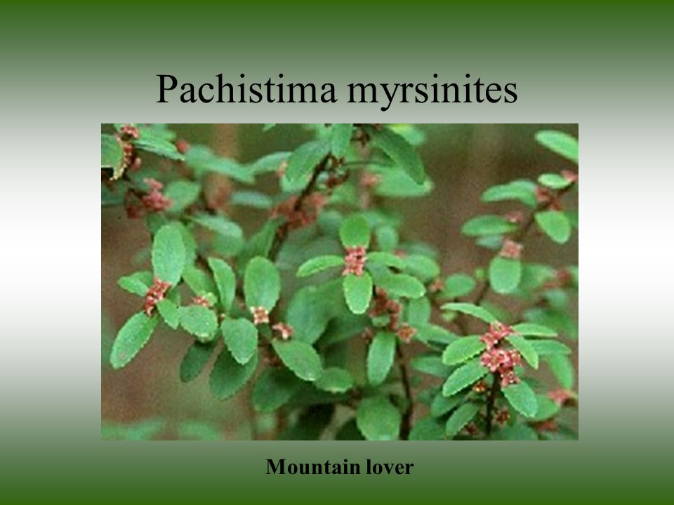 Pachistima myrsinites Mountain lover