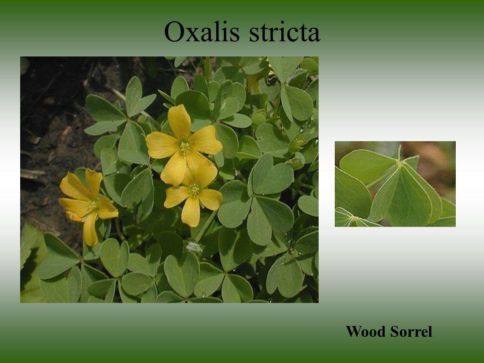 Oxalis stricta Wood Sorrel