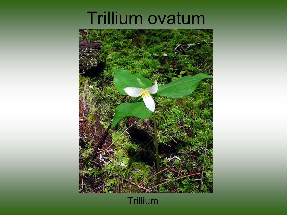 Trillium ovatum Trillium