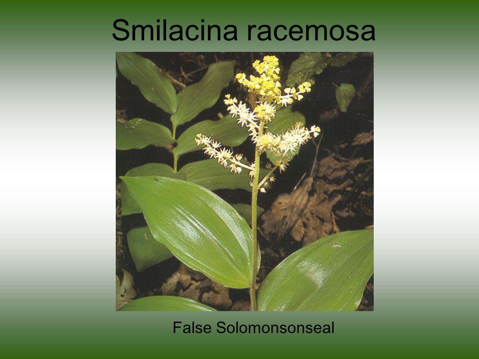 Smilacina racemosa False Solomonsonseal