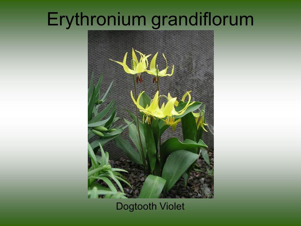 Erythronium grandiflorum Dogtooth Violet