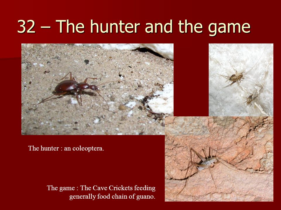 32 – The hunter and the game The game : The Cave Crickets feeding generally food chain of guano.