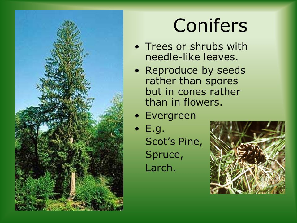 Conifers Trees or shrubs with needle-like leaves.