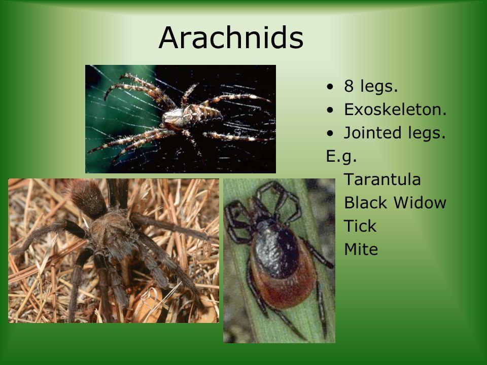 Arachnids 8 legs. Exoskeleton. Jointed legs. E.g. Tarantula Black Widow Tick Mite