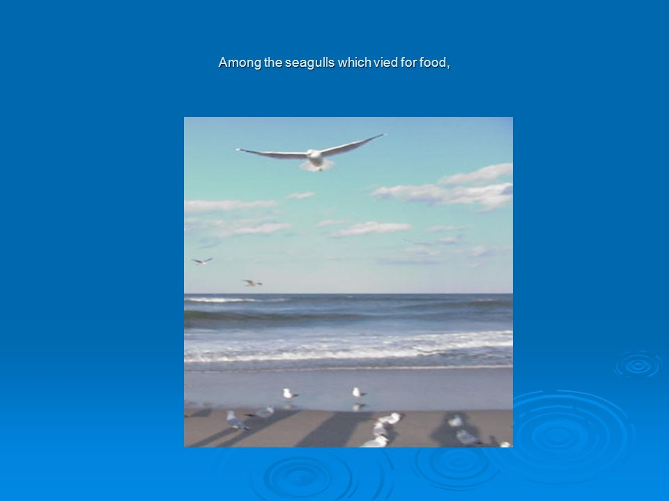 Among the seagulls which vied for food,