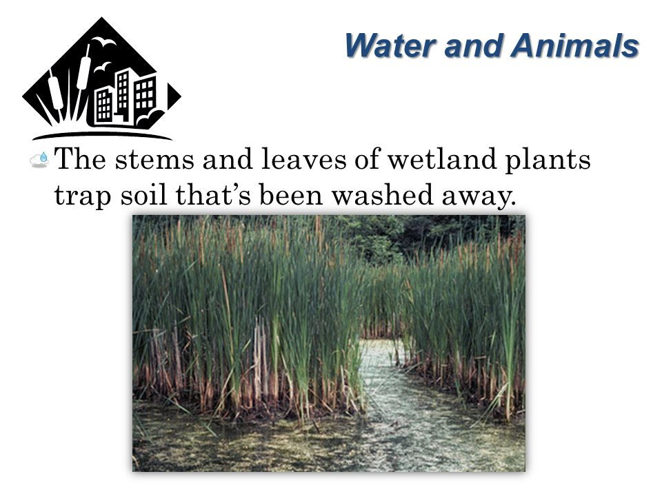 Water and Animals The stems and leaves of wetland plants trap soil that's been washed away.