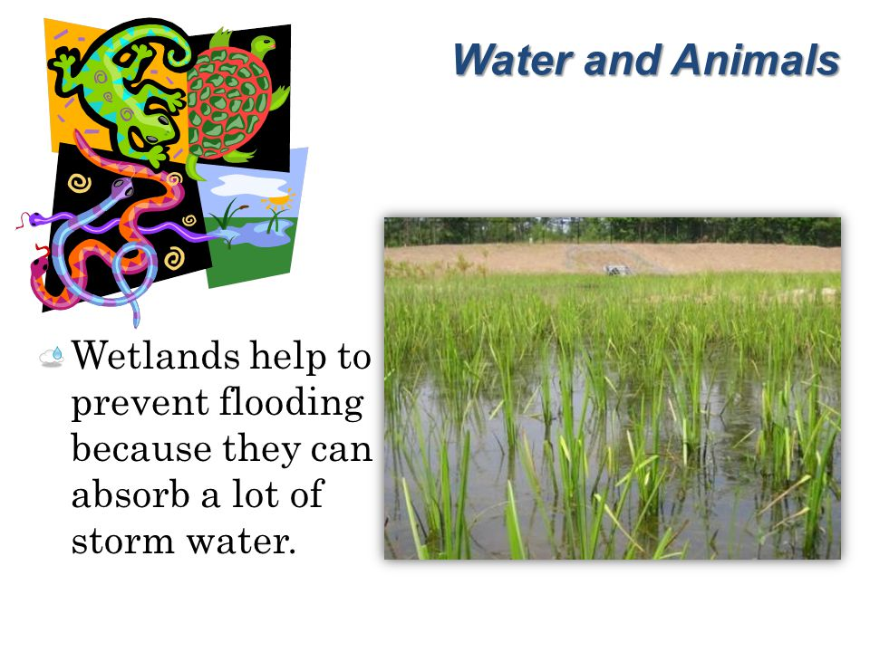 Water and Animals Wetlands help to prevent flooding because they can absorb a lot of storm water.