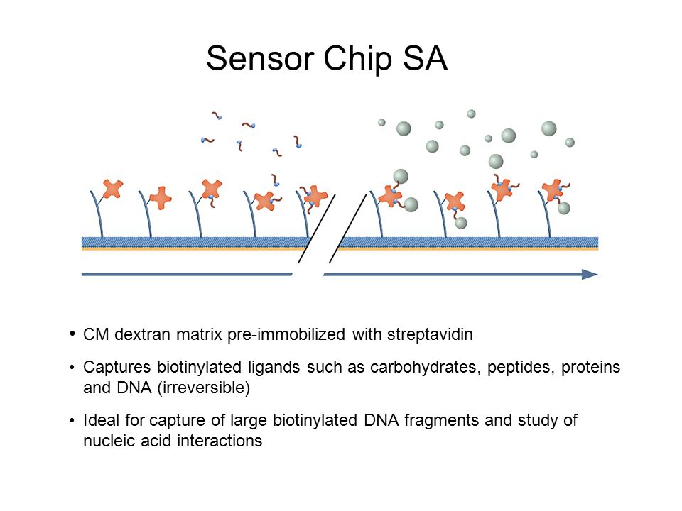 Sensor Chip SA CM dextran matrix pre-immobilized with streptavidin Captures biotinylated ligands such as carbohydrates, peptides, proteins and DNA (ir