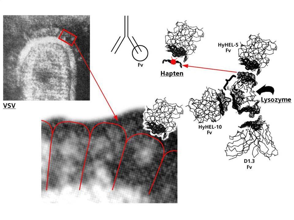 B cell – Ab responses local mucosal IgA no T / LN / Peyer Ag + LPS :IgM (no T H ) intact virus :IgM (no T H ) serotypes monomeric Ag : obligatory T H