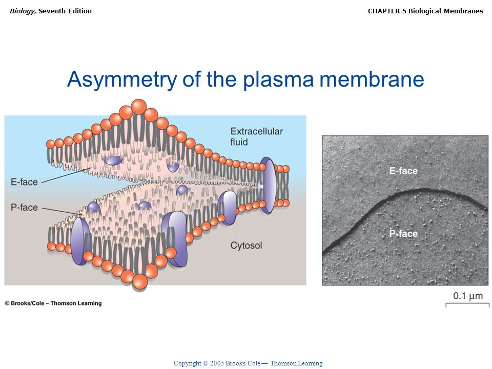 Copyright © 2005 Brooks/Cole — Thomson Learning Biology, Seventh EditionCHAPTER 5 Biological Membranes Asymmetry of the plasma membrane