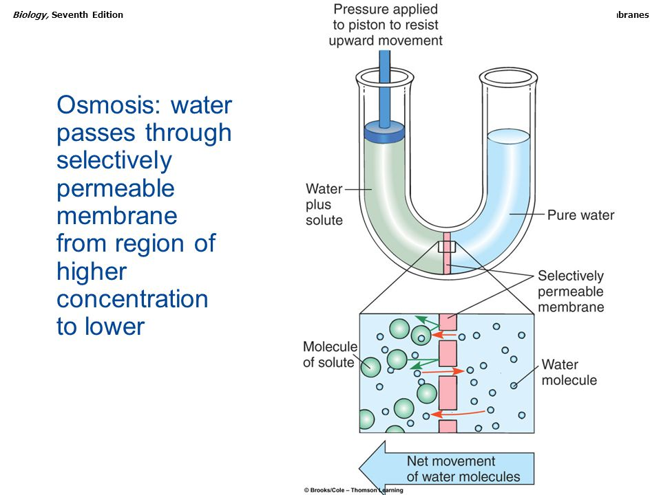 Copyright © 2005 Brooks/Cole — Thomson Learning Biology, Seventh EditionCHAPTER 5 Biological Membranes Osmosis: water passes through selectively permeable membrane from region of higher concentration to lower