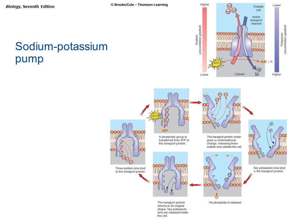 Copyright © 2005 Brooks/Cole — Thomson Learning Biology, Seventh EditionCHAPTER 5 Biological Membranes Sodium-potassium pump