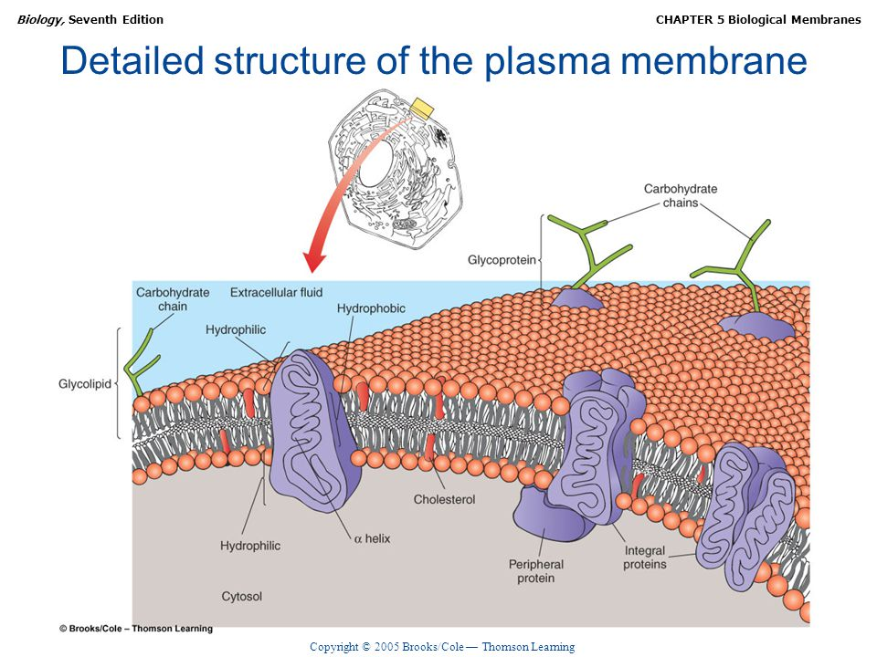Copyright © 2005 Brooks/Cole — Thomson Learning Biology, Seventh EditionCHAPTER 5 Biological Membranes Detailed structure of the plasma membrane
